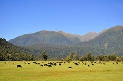 Vacas que pastan. Foto de archivo libre de regalías