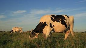 Vacas que pastan almacen de metraje de vídeo