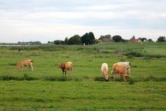 Vacas que pastan Imagen de archivo libre de regalías
