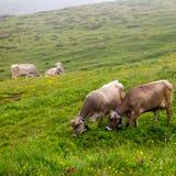 Vacas que pastan Foto de archivo