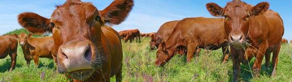 Vacas que pastan Fotos de archivo