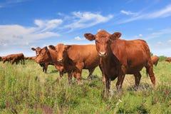 Vacas que pastan imagenes de archivo
