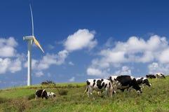 Vacas que pastan al lado de una turbina de viento Imagen de archivo libre de regalías