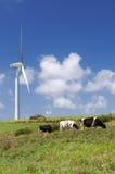 Vacas que pastan al lado de una turbina de viento Imagenes de archivo