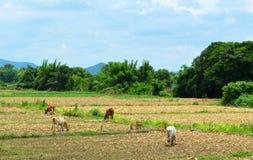 Vacas que pastan en campo Imagen de archivo libre de regalías