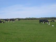 Vacas que pastan en campo Foto de archivo