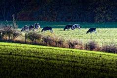 Vacas que pastan en campo en el kilmarnock Escocia Reino Unido de Gatehead imagenes de archivo