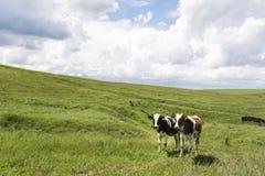 Vacas que pastan en campo verde imagenes de archivo