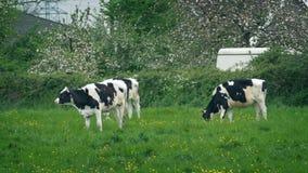 Vacas que pastan en campo en Windy Day