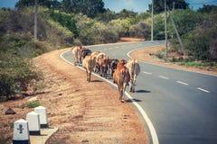 Vacas que pastan en el camino Sri Lanka Imagen de archivo