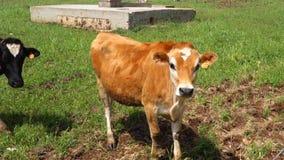 Vacas almacen de video