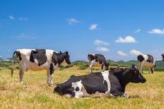 Vacas que pastan en el campo Fotos de archivo