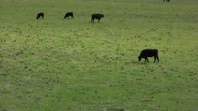 Vacas que pastan en el pasto de la granja metrajes
