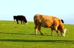 Vacas que pastan en el prado imagen de archivo libre de regalías