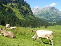 Vacas que pastan en el prado Imágenes de archivo libres de regalías