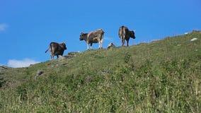 Vacas que pastan en la colina
