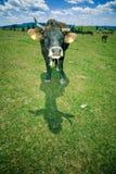 Vacas que pastan en la colina Foto de archivo