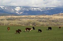 Vacas que pastan en las colinas de Utah Fotos de archivo libres de regalías