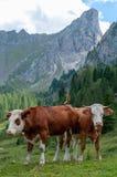 Vacas que pastan en las montañas Imagen de archivo libre de regalías