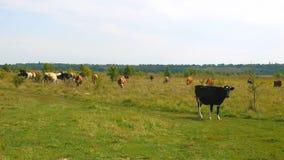 Vacas que pastan en pasto Vacas que pastan en pasto almacen de metraje de vídeo