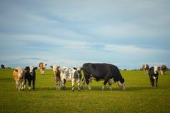 Vacas que pastan en pasto imagenes de archivo