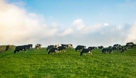Vacas que pastan en pasto imágenes de archivo libres de regalías