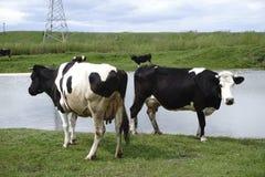 Vacas que pastan en pasto por el río en la puesta del sol Imagenes de archivo