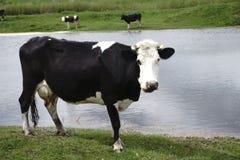 Vacas que pastan en pasto por el río en la puesta del sol Imagen de archivo libre de regalías