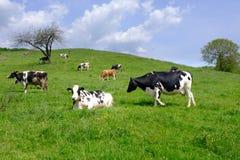 Vacas que pastan en pasto, una manada de las vacas blancos y negros mezcladas con ganado marr?n y blanco fotografía de archivo