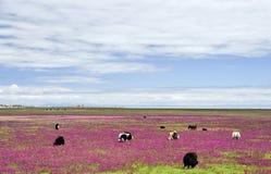 Vacas que pastan en prado fotos de archivo