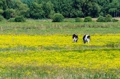 Vacas que pastan en prado floreciente amarillo Imagen de archivo libre de regalías