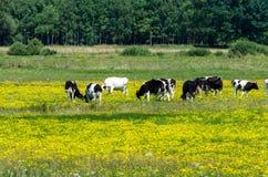 Vacas que pastan en prado floreciente amarillo Foto de archivo