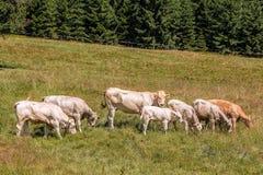 Vacas que pastan en prados alpinos Foto de archivo