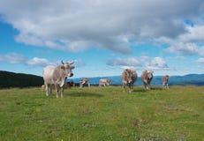 Vacas que pastan en prados verdes Imagenes de archivo