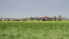 Vacas que pastan en un campo metrajes