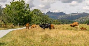 Vacas que pastan en un campo con las montañas fotografía de archivo libre de regalías