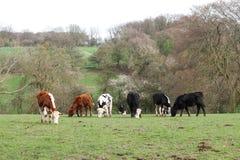 Vacas que pastan en un campo de hierba fotos de archivo