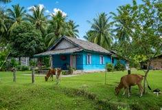 Vacas que pastan en un patio trasero indonesio imágenes de archivo libres de regalías