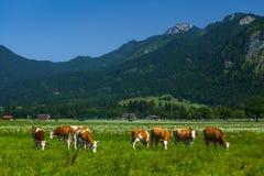 Vacas que pastan en un prado alpino verde Foto de archivo libre de regalías