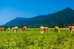 Vacas que pastan en un prado alpino verde Fotografía de archivo