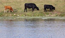 Vacas que pastan por un río Fotografía de archivo libre de regalías
