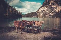 Vacas que se colocan cerca de Lago di Braies con el bosque de la montaña en el fondo Imagenes de archivo