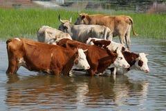 Vacas que se colocan en agua fotografía de archivo