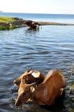 Vacas que se lavan de la muchacha del Balinese Fotografía de archivo libre de regalías