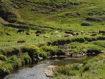 Vacas que se relajan al lado de corriente Fotos de archivo libres de regalías