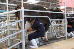 Vacas que son ordeñadas profesionalmente Foto de archivo libre de regalías