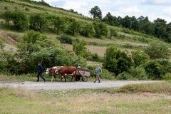 Vacas que tiran de un carro con madera Fotografía de archivo libre de regalías
