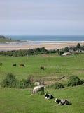 Vacas que toman el sol Imagen de archivo