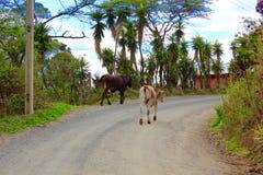 Vacas que vagan libremente pastando Imagen de archivo libre de regalías