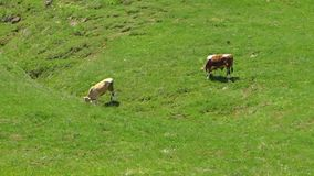 Vacas que vagan por las tierras bajas en Azerbaijan almacen de metraje de vídeo